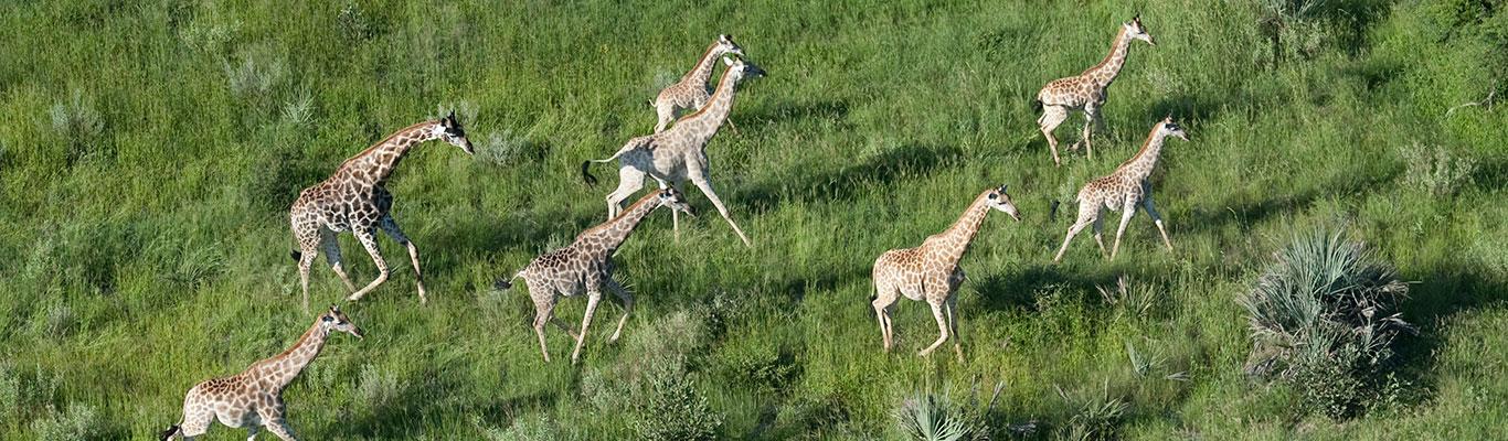 giraffe_aerial_3_chit-2.jpg