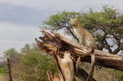 Chitabe_-_Leopard_4.jpg