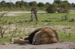 Chitabe_-_Lion_3.jpg