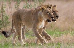 Chitabe_-_Lions_4.jpg