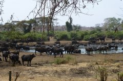 19-EVL-buffalo-at-waterhole.jpg