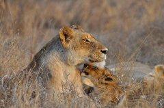 3-tuskers-bush-camp-lioness-kev.jpg
