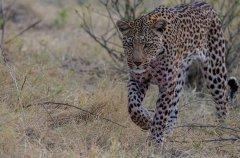 6-tuskers-bush-camp-wildlife-leopard-em.jpg