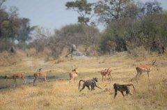 9-tuskers-bush-camp-baboon-kev.jpg