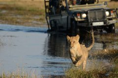 Camp-Savuti-game-drive-lions6.jpg