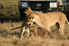Camp-Savuti-game-drive-lions7.jpg