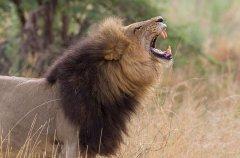 Chitabe_-_Lion_2.jpg