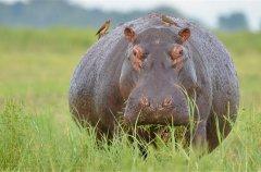 Pregnant-Hippo.jpg