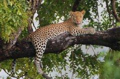 leopard_chobe_120225_ELL1240_a_ellmer_pweb.jpg