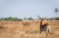 2-tuskers-bush-camp-wildlife-lechwe-em.jpg