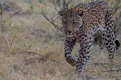 6-tuskers-bush-camp-wildlife-leopard-em.jpg