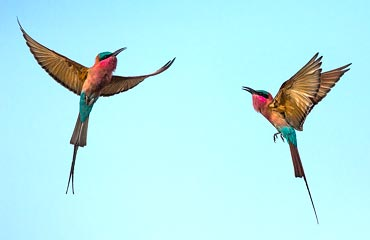 Carmine Bee-Eater Photo Season in Kalizo
